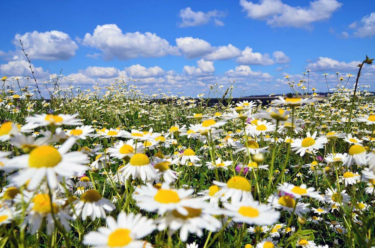 фото красивого поля ромашки проживающие